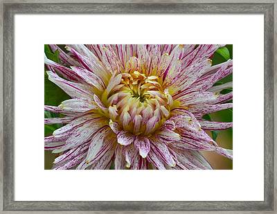 Sweet Dahlia Framed Print