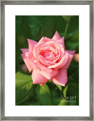 Sweet Pink Rose Framed Print by Carol Groenen