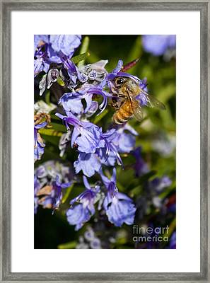 Sweet Rosemary Framed Print
