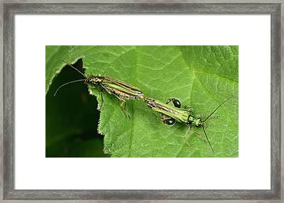 Swollen-thighed Beetles Framed Print by Nigel Downer