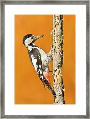 Syrian Woodpecker (dendrocopos Syriacus) Framed Print by Photostock-israel