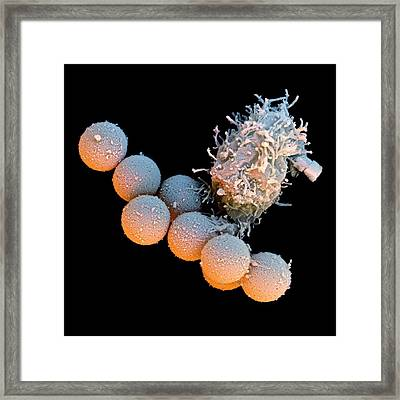 T-lymphocyte And Iron Particles Framed Print by Stefan Diller