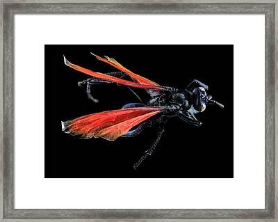 Tarantula Hawk Framed Print by Us Geological Survey
