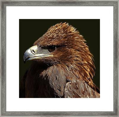 Tawny Eagle Framed Print by Paulette Thomas