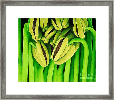 Sem Of Tea Flower Stamens Framed Print by Susumu Nishinaga