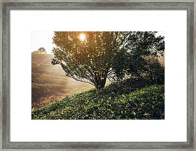 Tea Plantation In India Framed Print by Oleh slobodeniuk