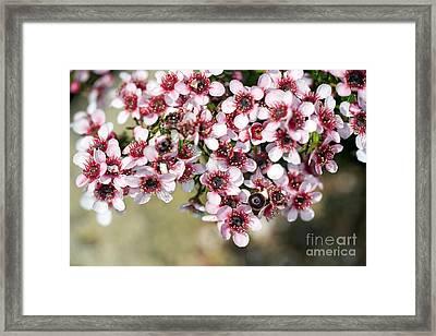 Tea Tree Leptospermum Scoparium Framed Print by Dr. Keith Wheeler