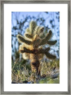 Teddy Bear Cholla Framed Print by Kelley King