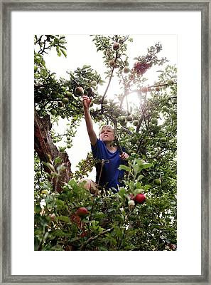 Teenage Boy Climbing An Apple Tree Framed Print by Thomas Fredberg