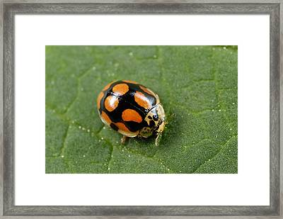Ten-spot Ladybird Framed Print by Science Photo Library
