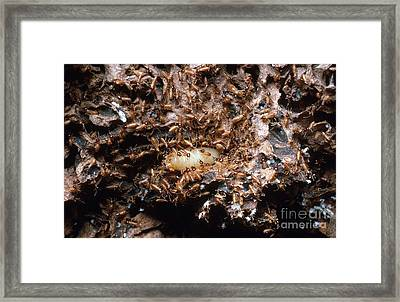 Termite Queen And Soldiers Framed Print by Gregory G. Dimijian, M.D.