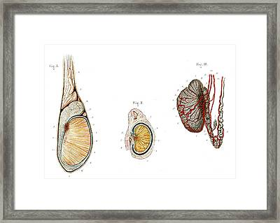 Testicle Anatomy Framed Print