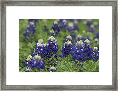 Texas Bluebonnets Framed Print
