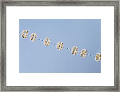 Thalassiosira Diatom Framed Print by Gerd Guenther