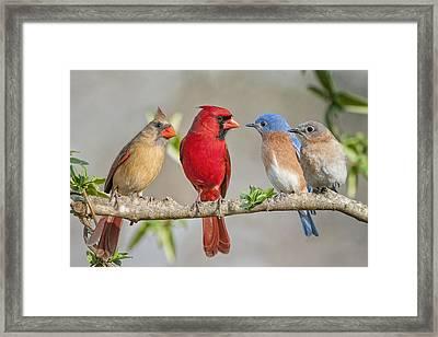 The Bluebirds Meet The Redbirds Framed Print