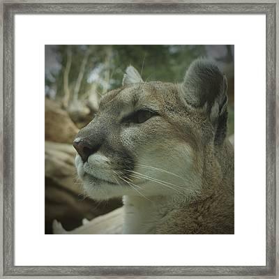 The Cougar 3 Framed Print by Ernie Echols