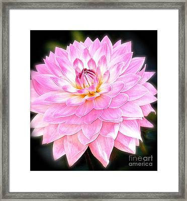 The Vivid Pink Dahlia Framed Print