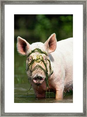 The Domestic Pigs Of Maliuc Often Roam Framed Print by Martin Zwick