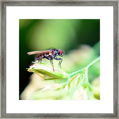 The Fly Framed Print by Tommytechno Sweden