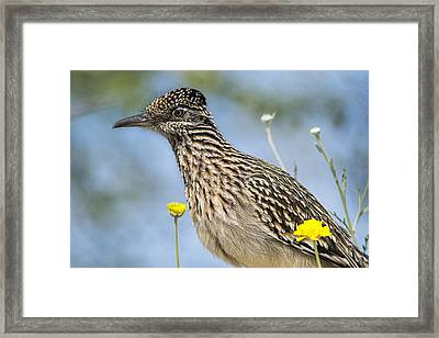 The Greater Roadrunner  Framed Print by Saija  Lehtonen