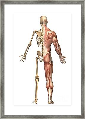 The Human Skeleton And Muscular System Framed Print by Stocktrek Images