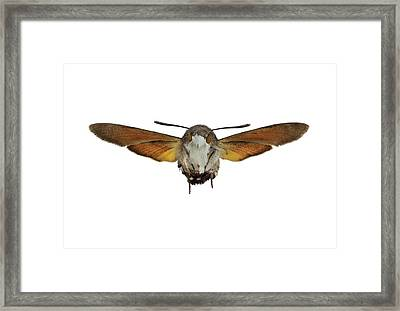 The Hummingbird Hawk-moth Framed Print