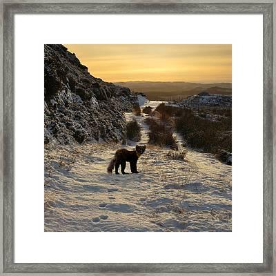 The Pine Marten's Path Framed Print