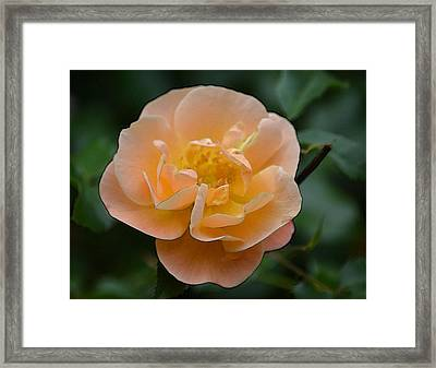 The Rose Framed Print by Joe Bledsoe
