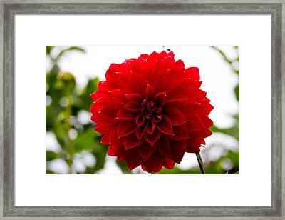 The Scarlet Flower Framed Print