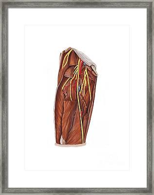 Thigh Nerve Plexus, Artwork Framed Print