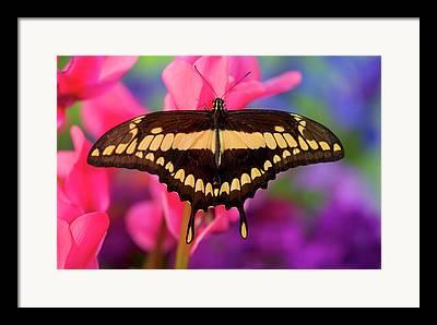 Papilio Thoas Framed Prints