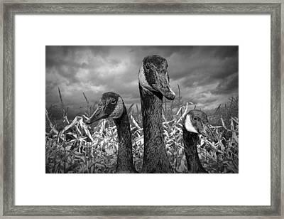 Three Canada Geese In An Autumn Cornfield Framed Print