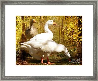 Framed Print featuring the photograph Three Geese A Grazing by Chris Armytage