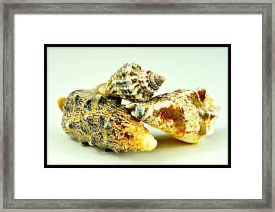 Three Seashells  Framed Print