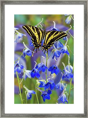 Three-tailed Tiger Swallowtail Framed Print by Darrell Gulin