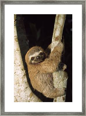 Three-toed Sloth Framed Print by M. Watson