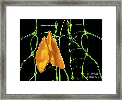 Thymus And Lymphatic Vessels, Artwork Framed Print by Alfred Pasieka