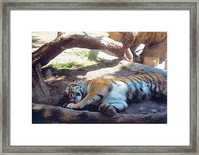 Tiger At Rest Framed Print by Barb Baker