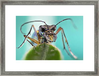 Tiger Beetle Framed Print by Nicolas Reusens