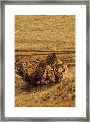 Tiger Cubs At The Waterhole, Tadoba Framed Print by Jagdeep Rajput