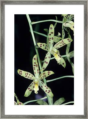 Tiger Orchid Flowers Framed Print by Paul Harcourt Davies/science Photo Library