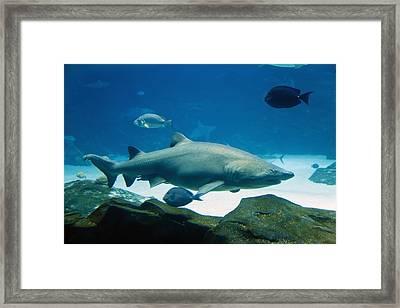Tiger Shark Framed Print
