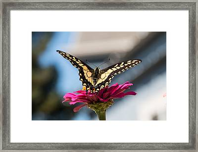 Tiger Swallow Tail Framed Print by Allison Jennings