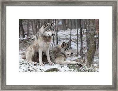 Timber Wolf Pair In Forest Framed Print