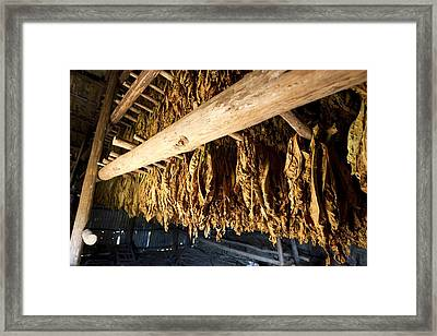 Tobacco Drying Room, Cuba Framed Print by Science Photo Library
