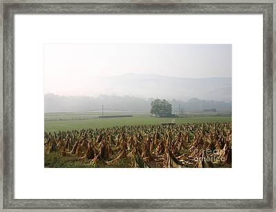 Tobacco In The Field Framed Print
