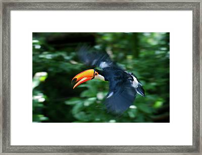 Toco Toucan (ramphastos Toco Framed Print