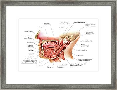 Tongue And Oral Floor Framed Print by Asklepios Medical Atlas