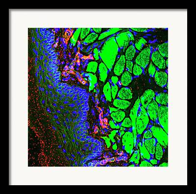 Actin Filament Framed Prints