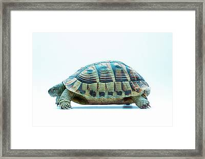 Tortoise Framed Print by Gustoimages/science Photo Library